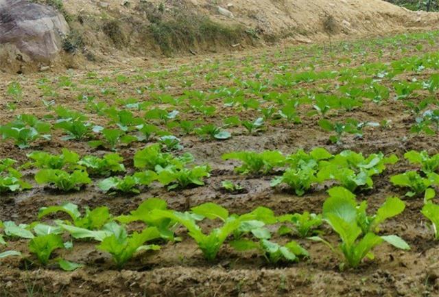 Với đồng bào Thái ở xã vùng biên ăn xôi nếp, rất ít khi ăn rau thì việc trồng rau là cả một cuộc cách mạng