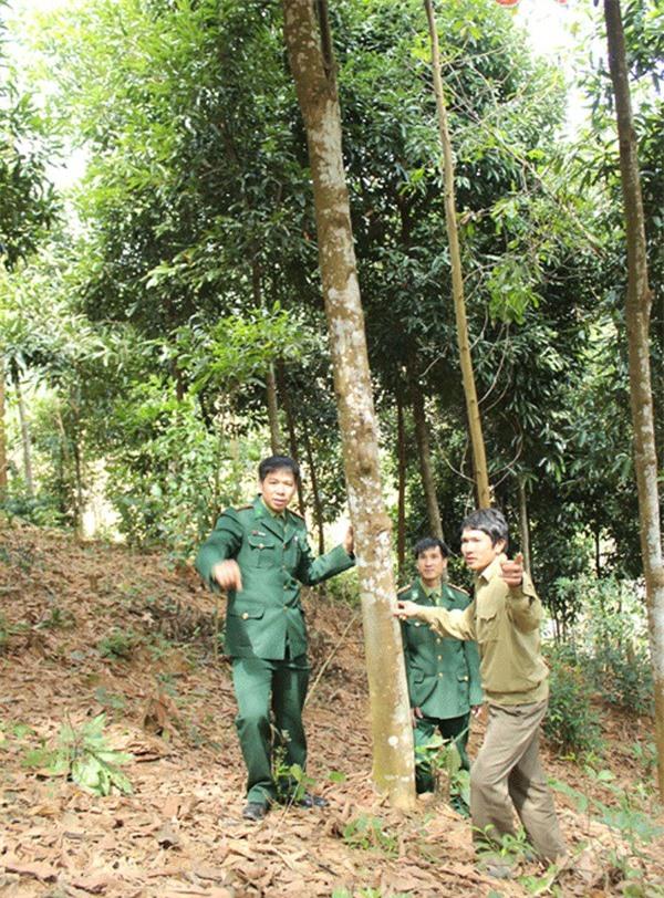 Cán bộ Đồn biên phòng Thông Thụ và ông Hà Đức Tính bên vườn quế nguyên liệu của mình (ảnh N.Sơn)