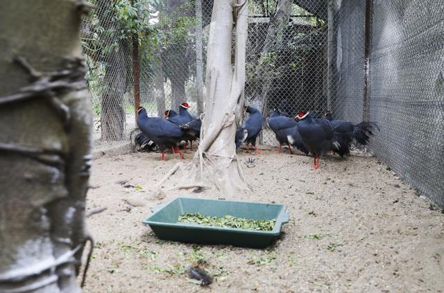 Gà lôi tai xanh là giống gà có kích thước khá lớn so với những giống gà thông thường ở Việt Nam. Với ngoại hình bắt mắt và tính cách thân thiện, dễ chăm sóc trong điều kiện môi trường bình thường, hiện nay gà lôi tai xanh đang được nhiều người tìm mua về làm cảnh.