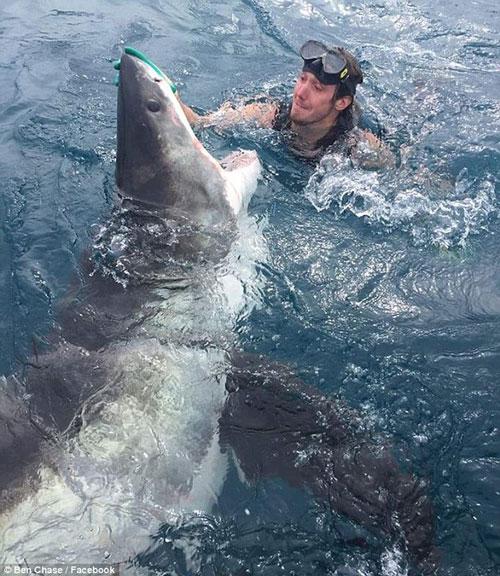 Thợ lặn mạo hiểm chạm tay vào mũi cá mập trắng lớn.