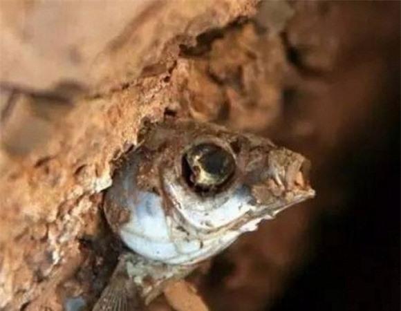 Kỳ diệu chú cá mắc kẹt giữa đất khô 4 năm vẫn sống sót