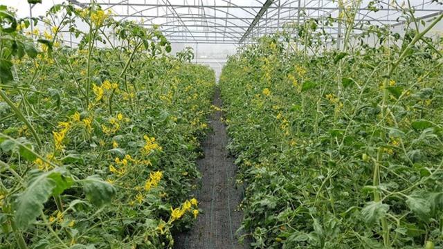 Do khác biệt khí hậu nên dù đã nhập đúng giống cây nhưng hương vị cà chua vẫn không đạt như kỳ vọng. Ảnh: Xuân Thủy