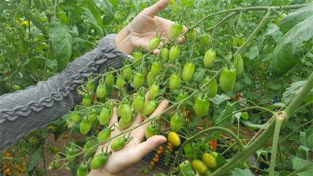 Nhờ được chăm sóc dinh dưỡng theo chế độ đặc biệt nên cây sinh trưởng tốt. Ảnh: Xuân Thủy