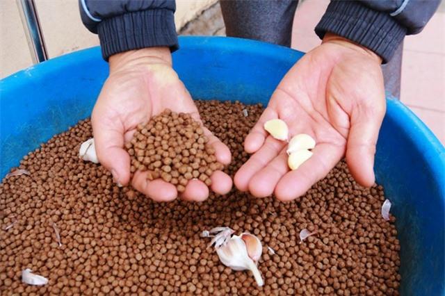 Bình quân, cứ 15 ngày ông Thăng dã nhỏ tỏi, trộn vào thức ăn cho ếch ăn để kháng các loại bệnh.