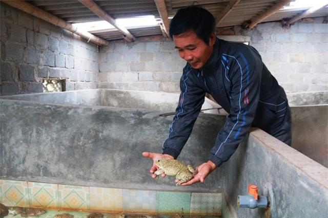 Nhờ phương pháp đặc biệt, mỗi năm ông Thăng thu tiền tỷ từ việc nuôi ếch.
