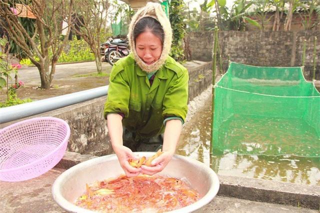 Nhờ nuôi cá chép đỏ, người dân tại làng Hữu Hậu sẽ có được cái Tết no ấm hơn