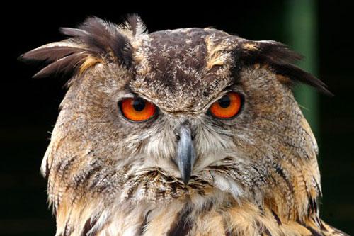Chim cú có thể quay đầu đến 270 độ.