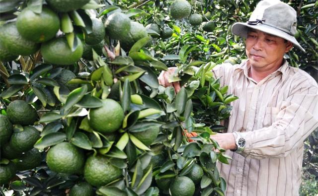 Có thể nói anh Huỳnh Công Chánh là người tiên phong trong việc trồng cây cam sành trên vùng đất kém hiệu quả ở xã Tà Đảnh, huyện Tri Tôn