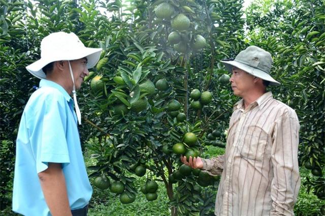 Ngoài việc nổ lực của bản thân trong việc tự tìm hiểu về kỹ thuật trồng cây cam sành, anh Chánh còn được cán bộ kỹ thuật ngành nông nghiệp An Giang hỗ trợ rất nhiều