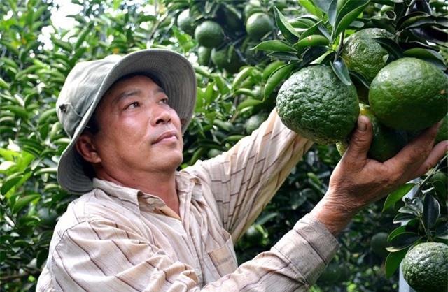 Hiện nay, anh Chánh mở rộng trồng cây cam sành trên diện tích khoảng 60.000m2 và bình quân thu nhập khoảng 30 triệu đồng/1000m2