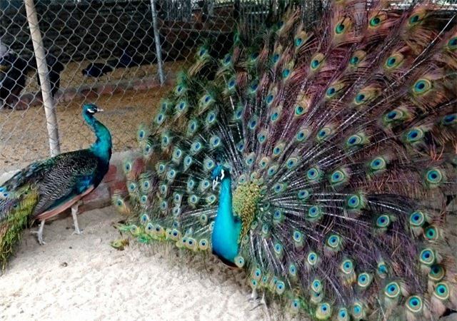 Trang trại của anh Bốn có nhiều loài chim quý như công, chim trĩ 7 màu, trích cồ, gà Đông Tảo...