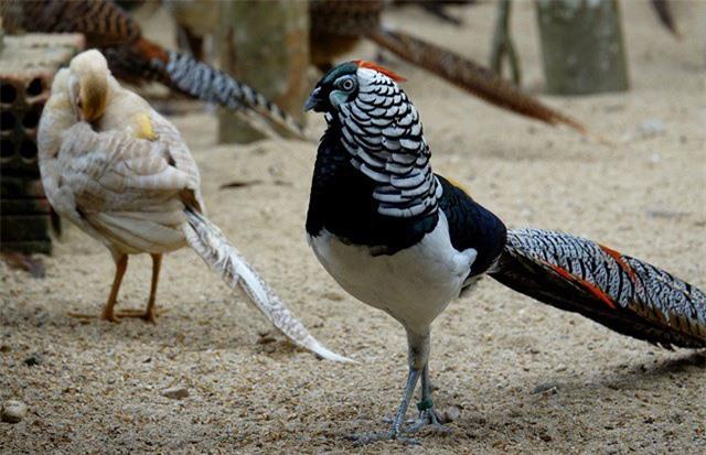Nhiều loại chim màu sắc đẹp mắt trong trang trại của anh Bốn