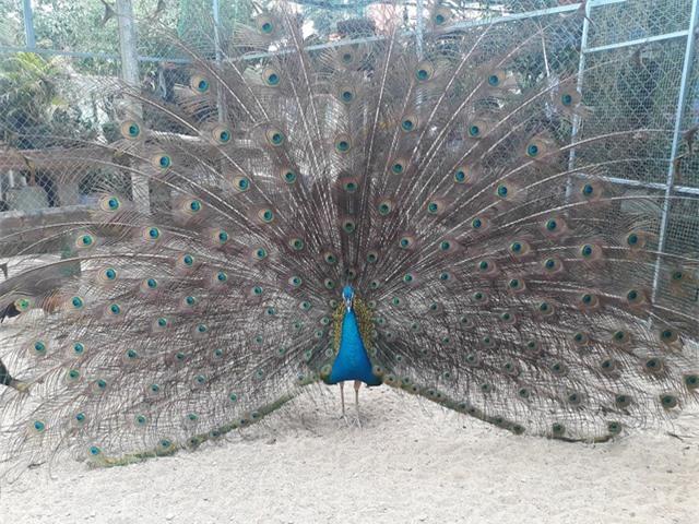 Chim công trưởng thành có giá bán 15 triệu đồng/con