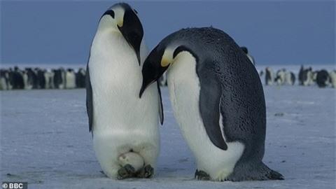 1001 thắc mắc: Vì sao chim cánh cụt không thể bay - ảnh 1