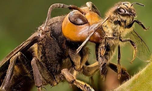 Ong mặt quỷ là một trong những loài ong độc nhất trên thế giới.