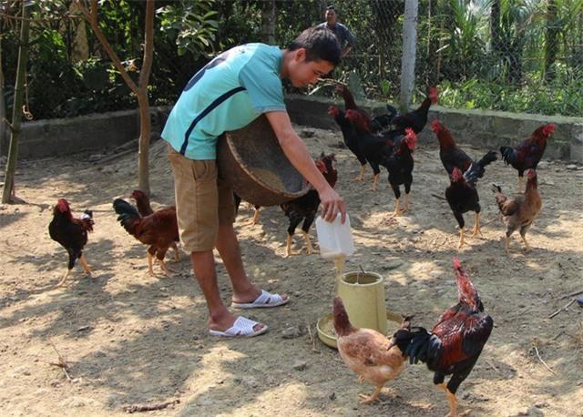 Anh Lê Văn Hán chăm sóc đàn gà của mình