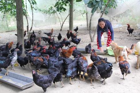 Mô hình nuôi gà thả vườn giúp gia đình chị Hoa thoát nghèo