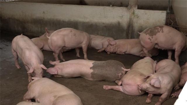 Giá thịt lợn tại Hà Nội có xu hướng giảm - Ảnh 1.
