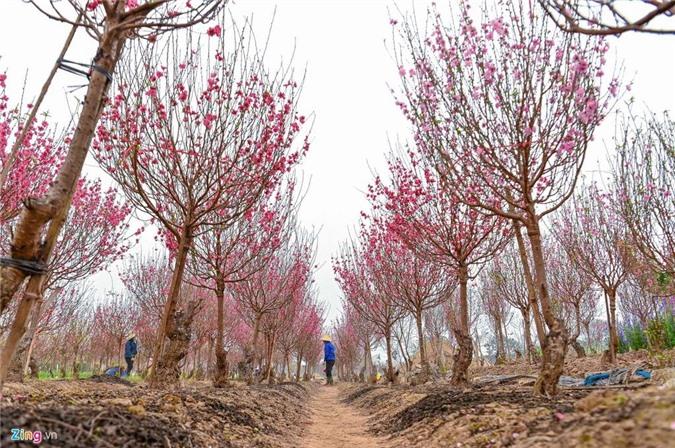 Vườn đào ngập sắc hồng, nông dân thấp thỏm lo mất Tết - 2