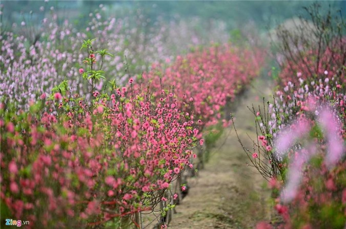 Vườn đào ngập sắc hồng, nông dân thấp thỏm lo mất Tết - 3