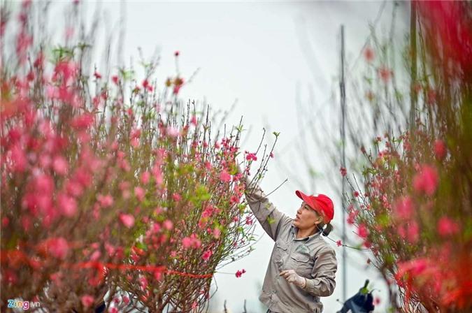 Vườn đào ngập sắc hồng, nông dân thấp thỏm lo mất Tết - 4