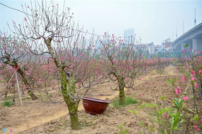 Vườn đào ngập sắc hồng, nông dân thấp thỏm lo mất Tết - 7