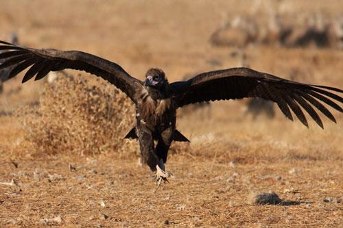 Đây là loài chim lớn nhất Việt Nam
