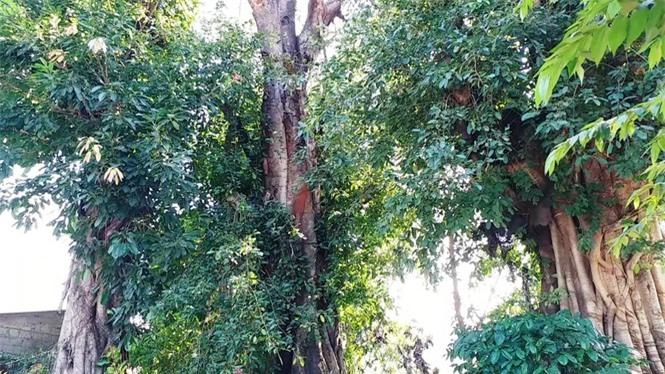 cây quái thú hương thủy, thừa thiên huế - ảnh 10