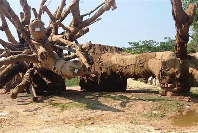 cây quái thú hương thủy, thừa thiên huế - ảnh 11