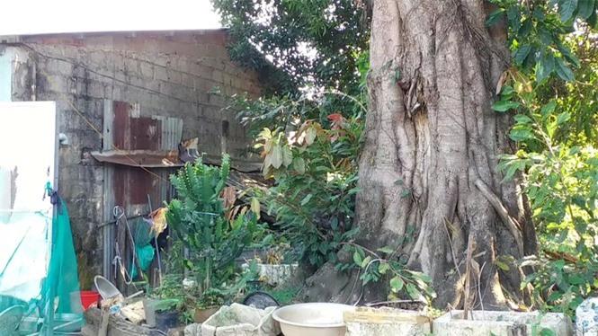 cây quái thú hương thủy, thừa thiên huế - ảnh 3
