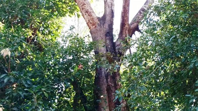 cây quái thú hương thủy, thừa thiên huế - ảnh 6