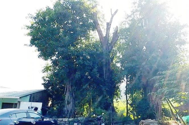 cây quái thú hương thủy, thừa thiên huế - ảnh 7