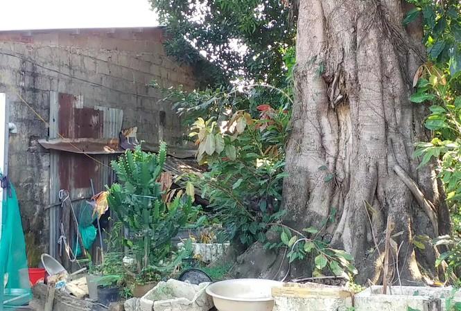 """Từ chỗ cho trồng tạm, 3 cây cổ thụ khủng này bị chủ """"bỏ rơi"""" khiến người cho mượn đất khốn khổ vì không có mặt bằng làm nhà cho con cái và sống run sợ vì lo cây đổ vào nhà mỗi ngày."""