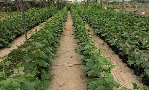 Bắc Ninh: Lão nông thu tiền tỷ mỗi năm từ bán cây giống dưa chuột, cà chua