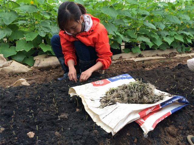 Cả nhà ông Mạnh đang trồng thử cây hành giống