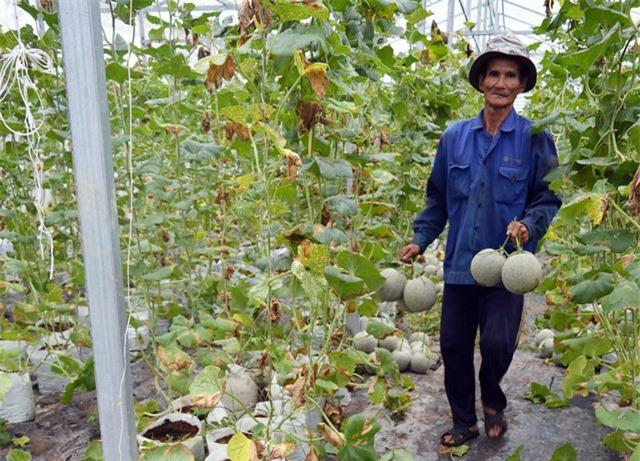 Các nhân công đang thu hoạch dưa lưới