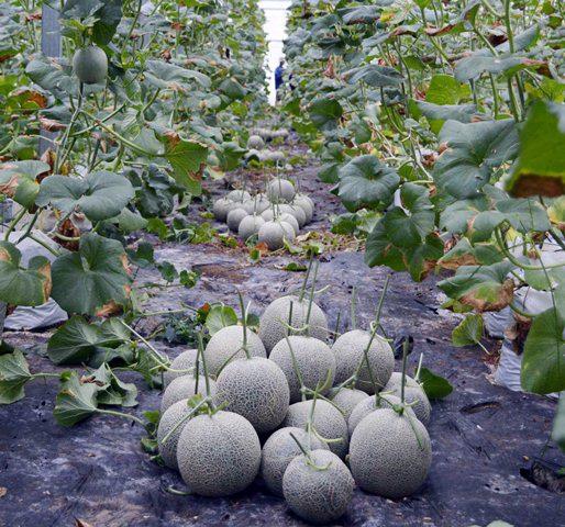 Vườn dưa lưới xanh mướt, trĩu quả của nông dân Võ Văn Chưng ở Hậu Giang