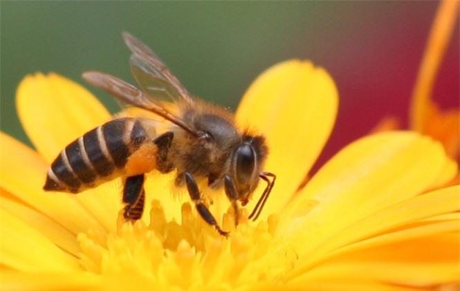 1001 thắc mắc: Ong có ngủ không, kinh khủng thế nào nếu ong tuyệt chủng? - ảnh 1
