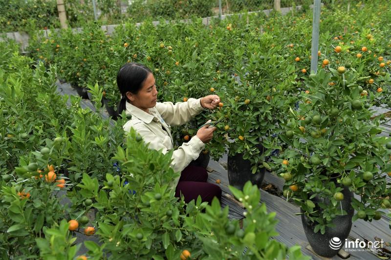 """Bên cạnh những loại quất quen thuộc, gia đình bà Đỗ Thị Mai (Mễ Sở, Văn Giang, Hưng Yên) đã cho """"ra lò"""" thành công loại quất cảnh có quả độc đáo giống hình một chiếc bình hồ lô."""