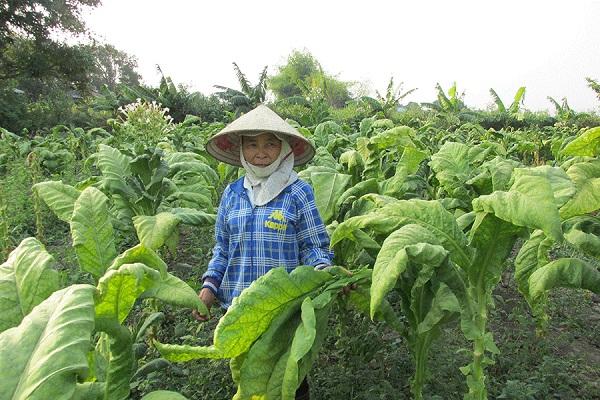 Năm 2020 hạn ngạch nhập khẩu thuốc lá nguyên liệu là 59.098 tấn, cao hơn năm 2019 2.814 tấn