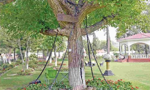 """Chuyện lạ về một cây xanh """"bị trói"""" hơn 100 năm qua"""
