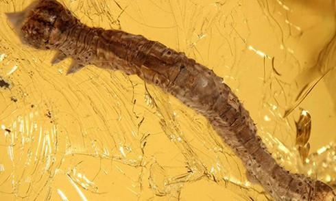 Sâu bướm cổ xưa nguyên vẹn trong hổ phách 44 triệu năm