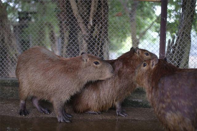 Hà Nội xuất hiện chuột khổng lồ nặng hơn 50 kg nuôi như nuôi lợn - 1