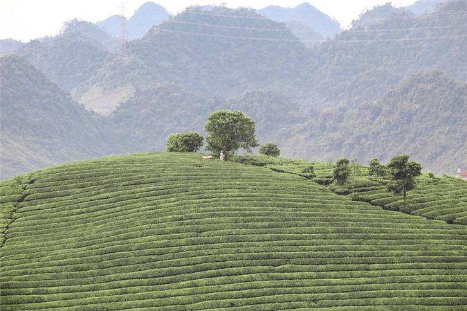 Những cánh đồng chè đầy thơ mộng ở Mộc Châu - ảnh 1