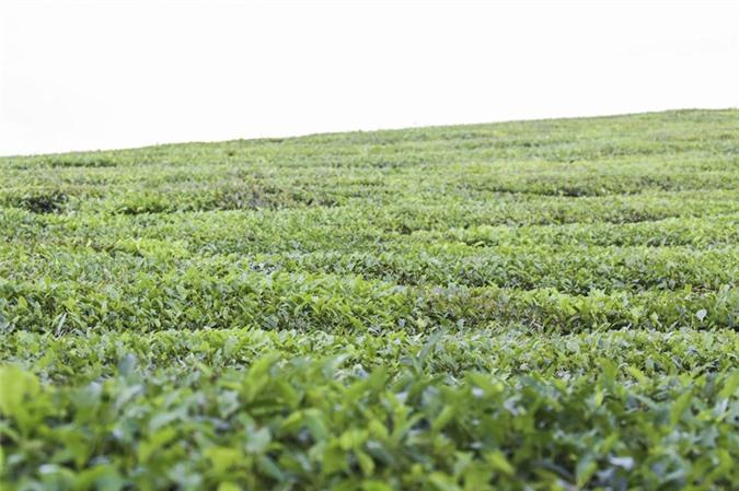 Những cánh đồng chè đầy thơ mộng ở Mộc Châu - ảnh 10
