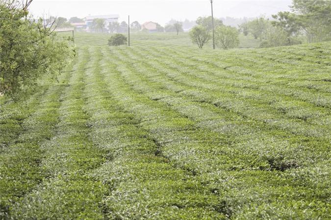 Những cánh đồng chè đầy thơ mộng ở Mộc Châu - ảnh 11