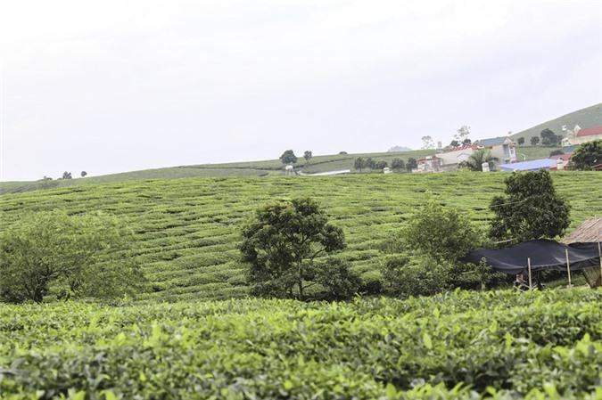 Những cánh đồng chè đầy thơ mộng ở Mộc Châu - ảnh 2
