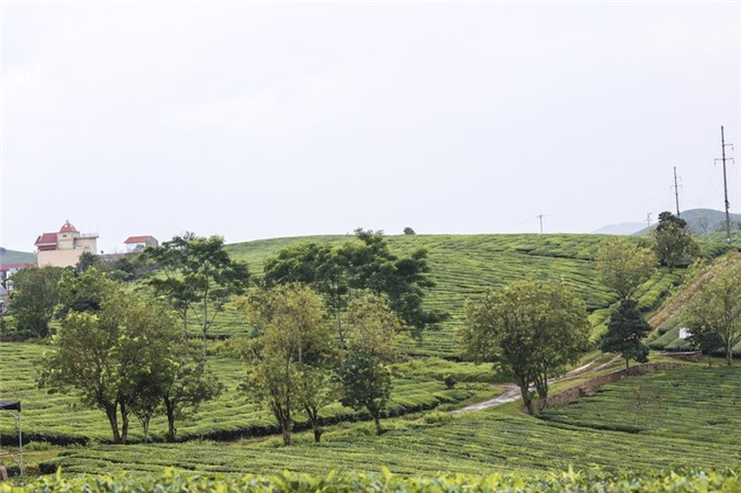 Những cánh đồng chè đầy thơ mộng ở Mộc Châu - ảnh 3