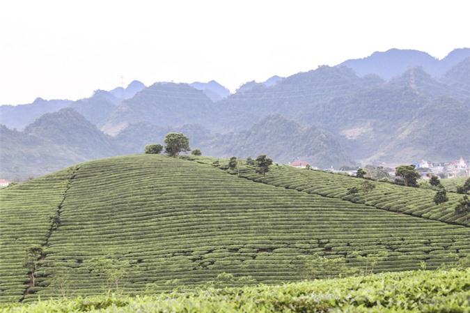 Những cánh đồng chè đầy thơ mộng ở Mộc Châu - ảnh 4