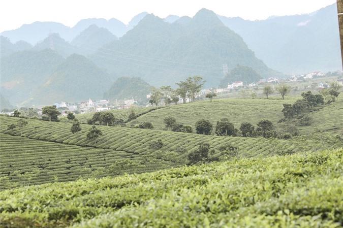 Những cánh đồng chè đầy thơ mộng ở Mộc Châu - ảnh 5